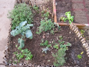 The herb garden (new chamomile at bottom right corner.  And yes, that is a poorly placed eggplant middle left... this year I will plan my plantings better!)